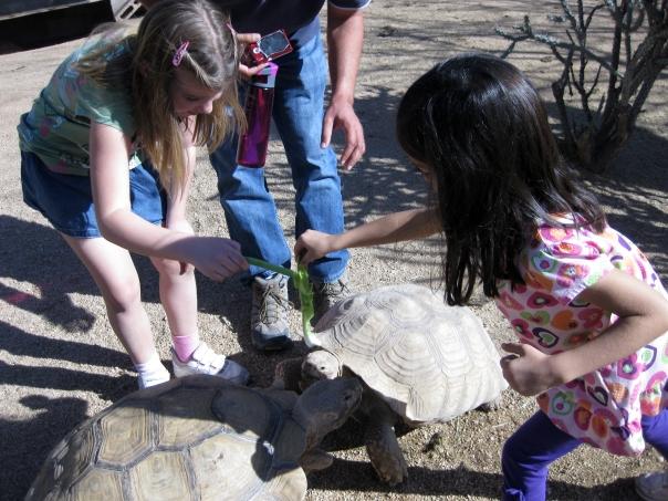 Feeding Desert Tortoises